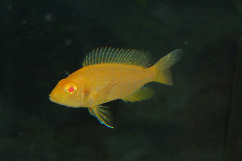 cichlids.com: Albino Sunburst Peacock female
