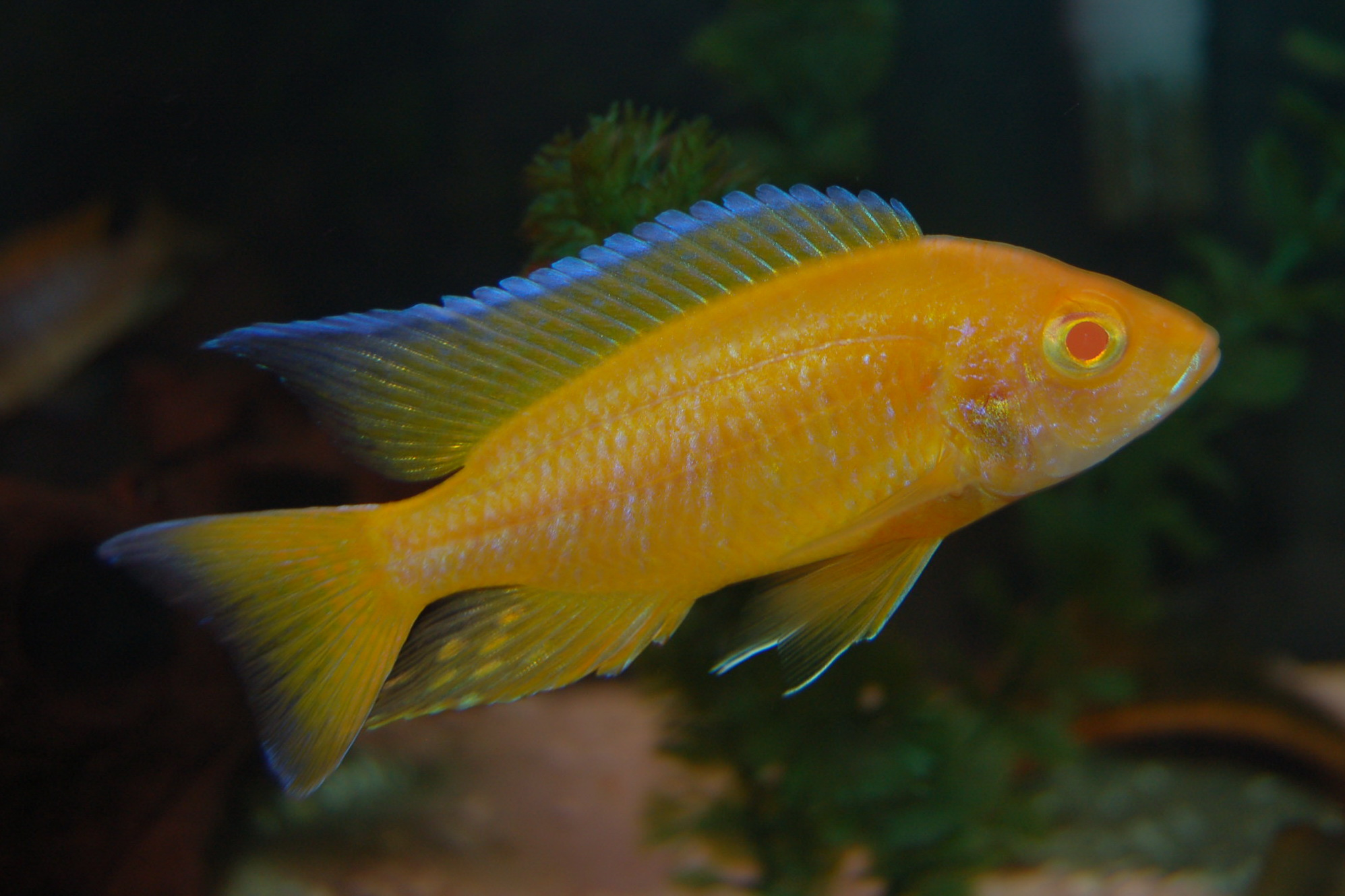 lemon jake peacock cichlid - photo #36