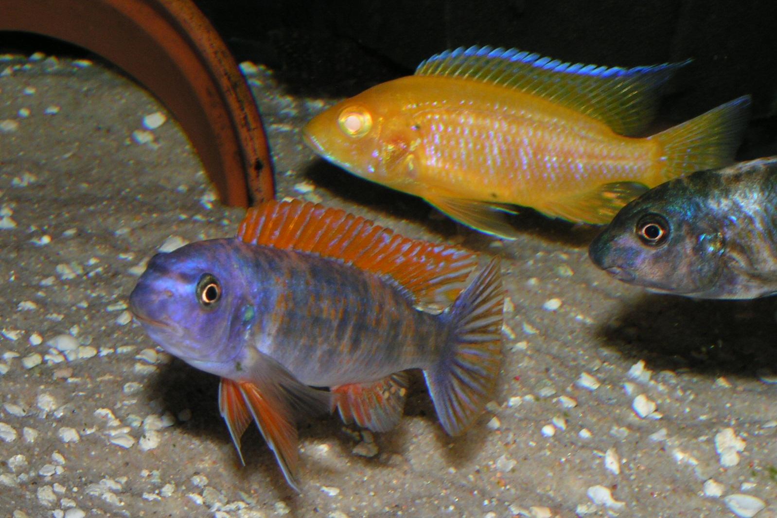 cichlids.com: Red Top Marmalade Cat & female , Albino ...