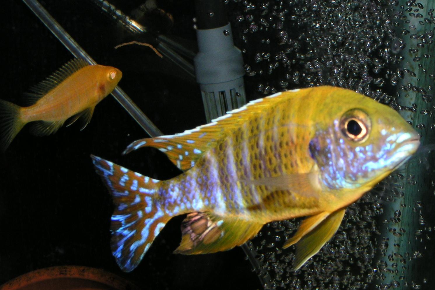 cichlids.com: Benga peacock & Albino Sunburst female