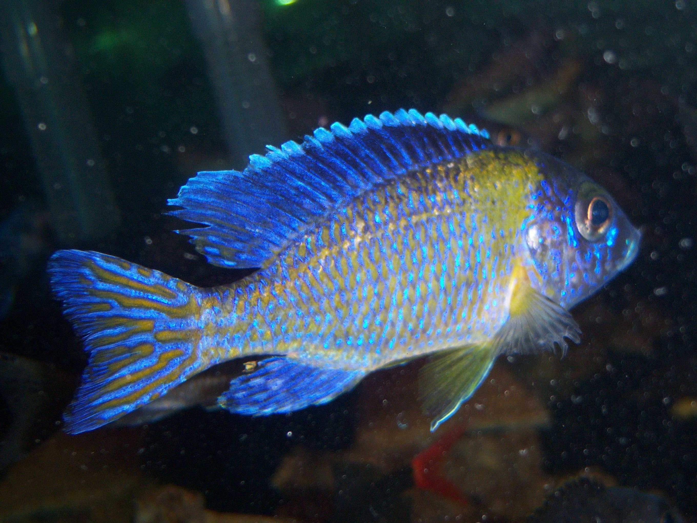 cichlids.com: Blue Neon
