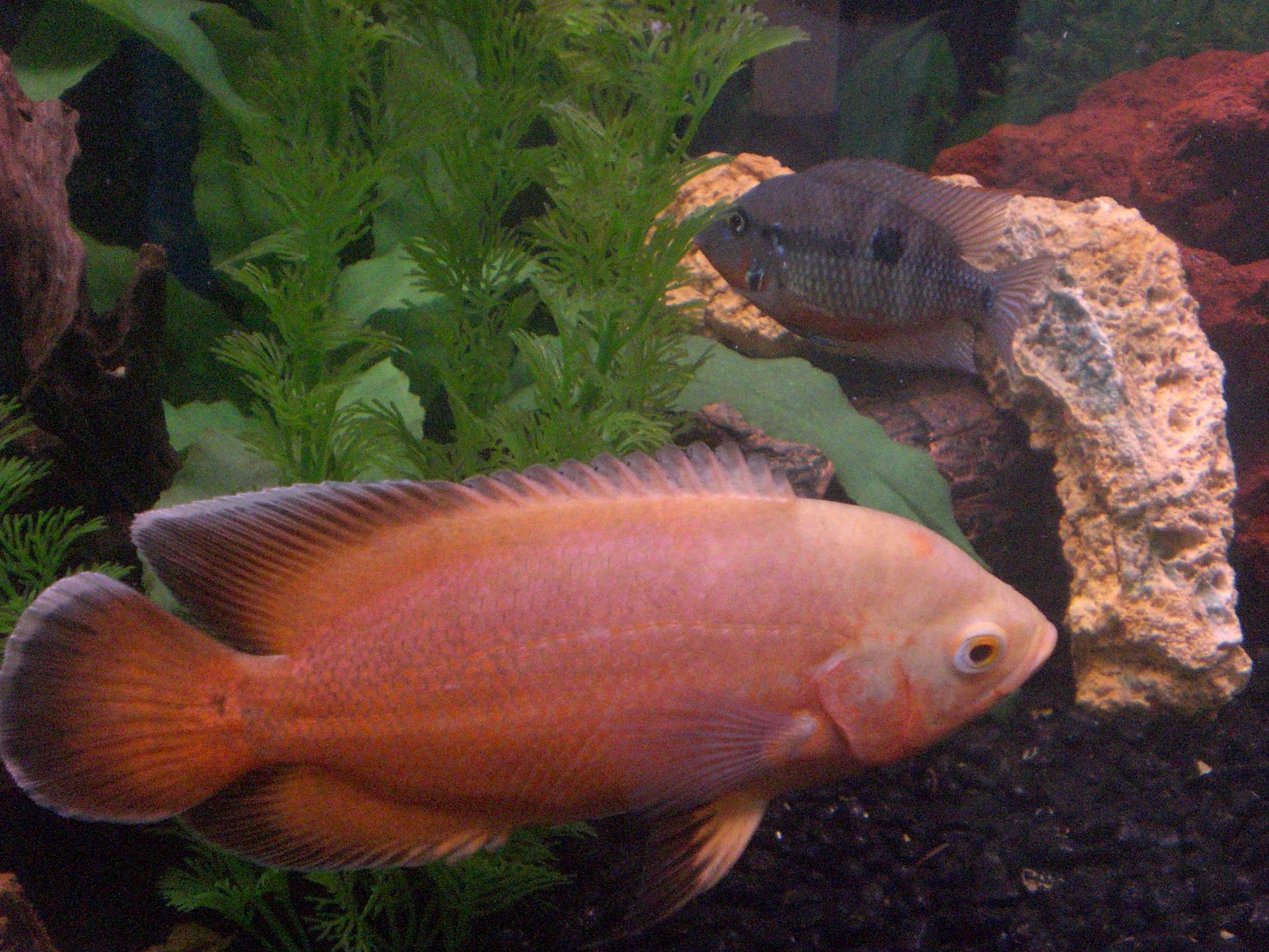Firemouth Cichlid : cichlids.com: firemouth and oscar