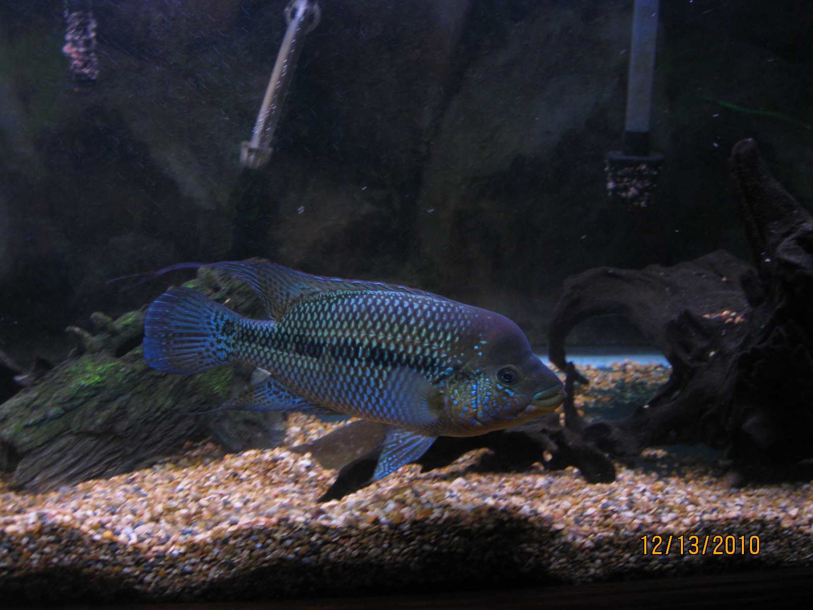 cichlids.com: Another ...