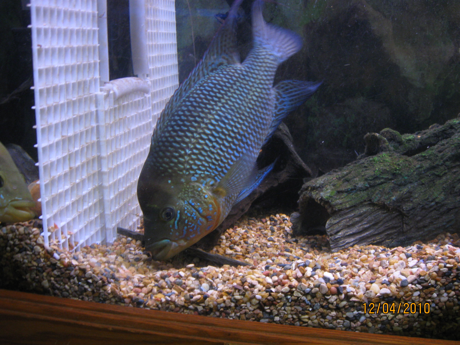 cichlids.com: Male Umb...