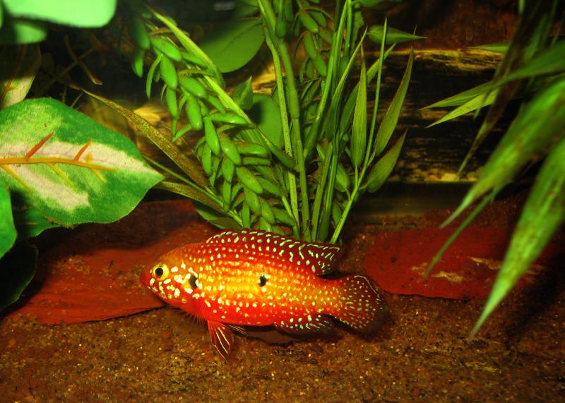 cichlids.com: Blood Red Jewel