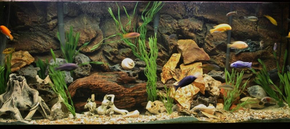 cichlids.com: Tank examples: 120 gal Rockslide aquascape