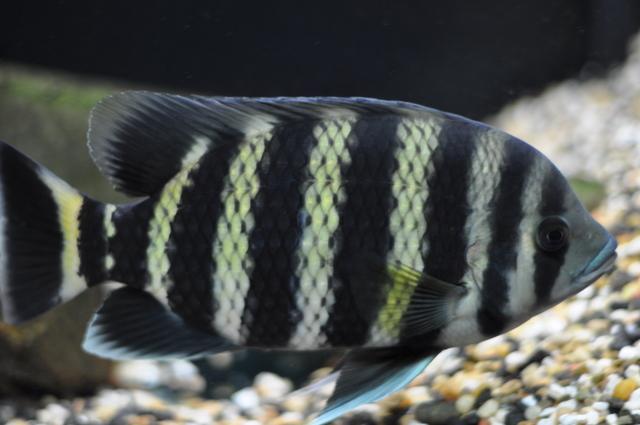 cichlids.com: Buttikoferi