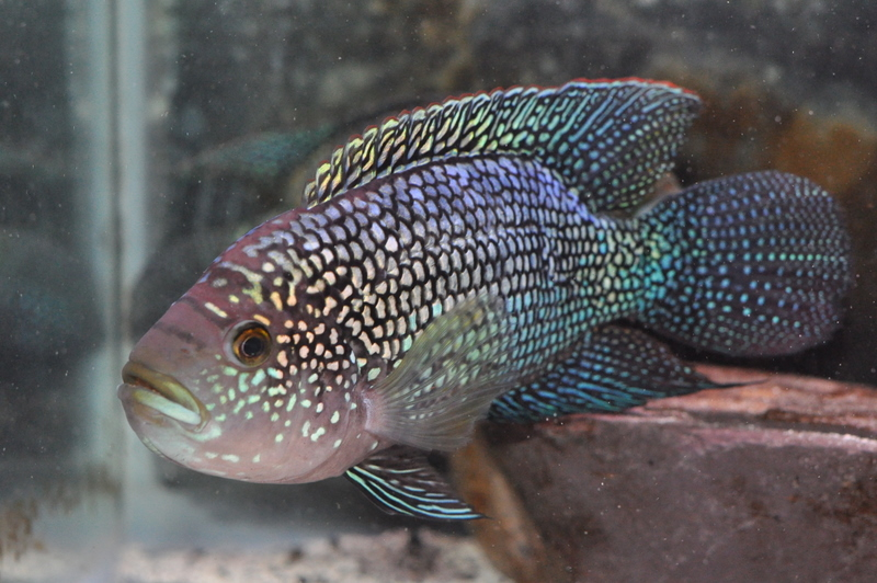 Male jack dempsey for Jack dempsy fish