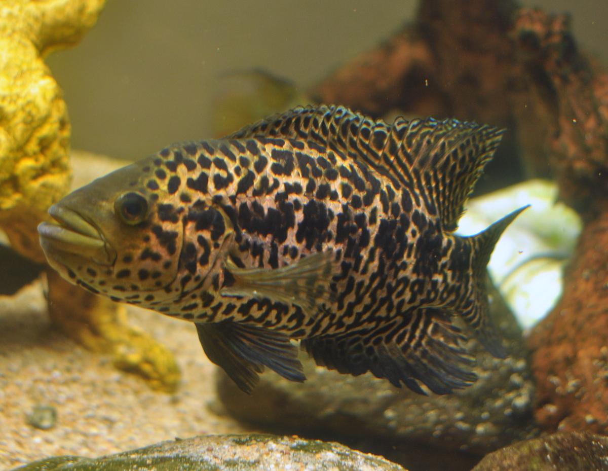 cichlids.com: Parachromis Managuense