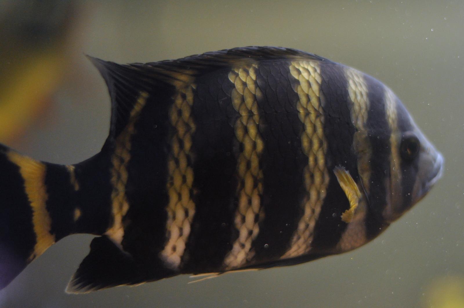 cichlids.com: Tilapia Buttikoferi