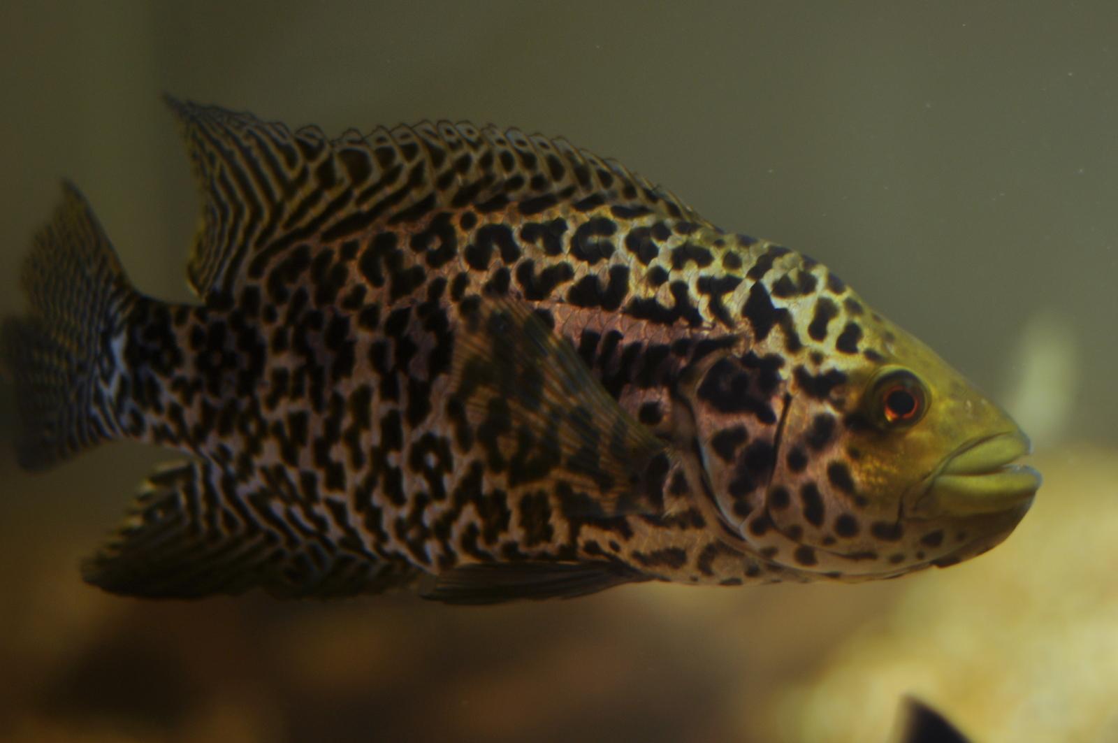 cichlids.com: Parachromis Managuense--Male