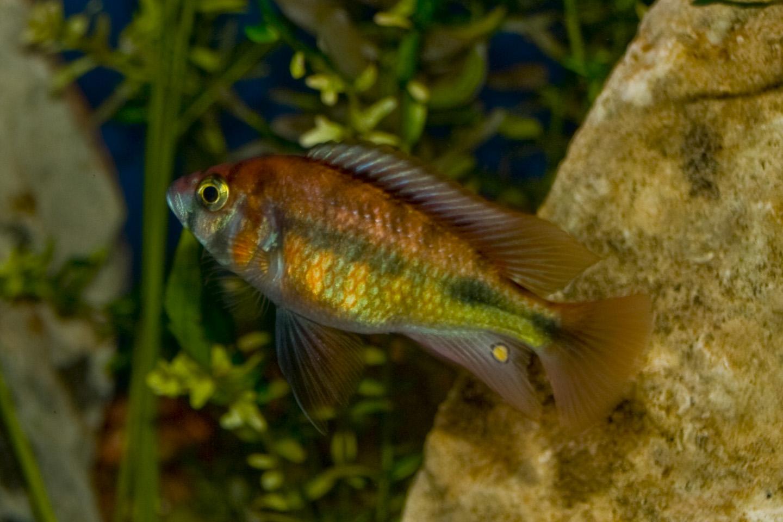cichlids.com: Kyoga Flameback or All Red Kyoga