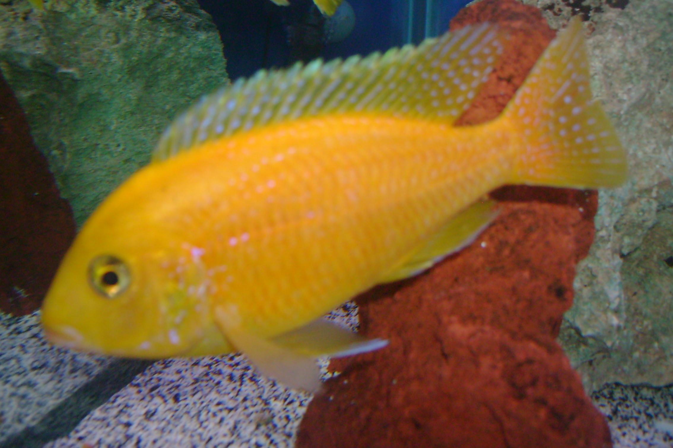 cichlids.com: Gold Peacock