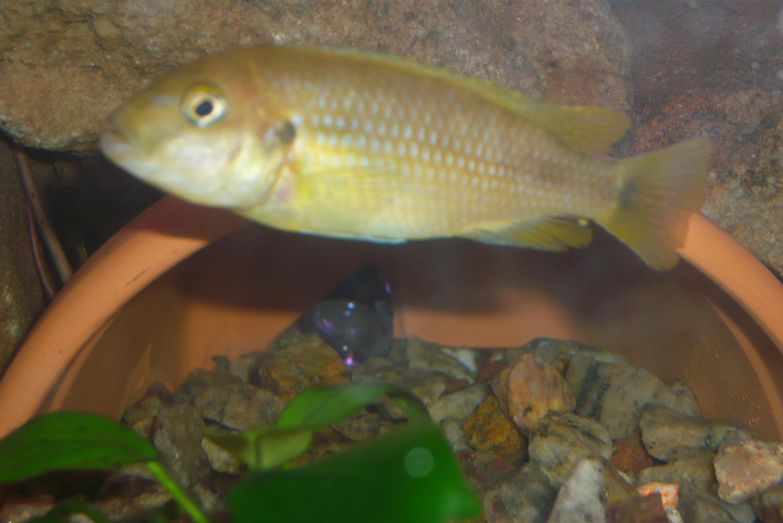 cichlids.com: Johanni Female