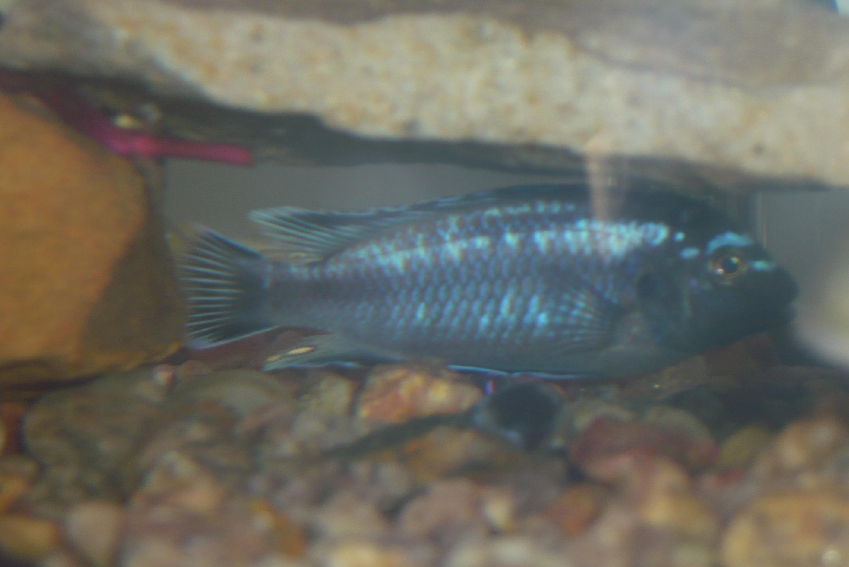 cichlids.com: Johanni Male