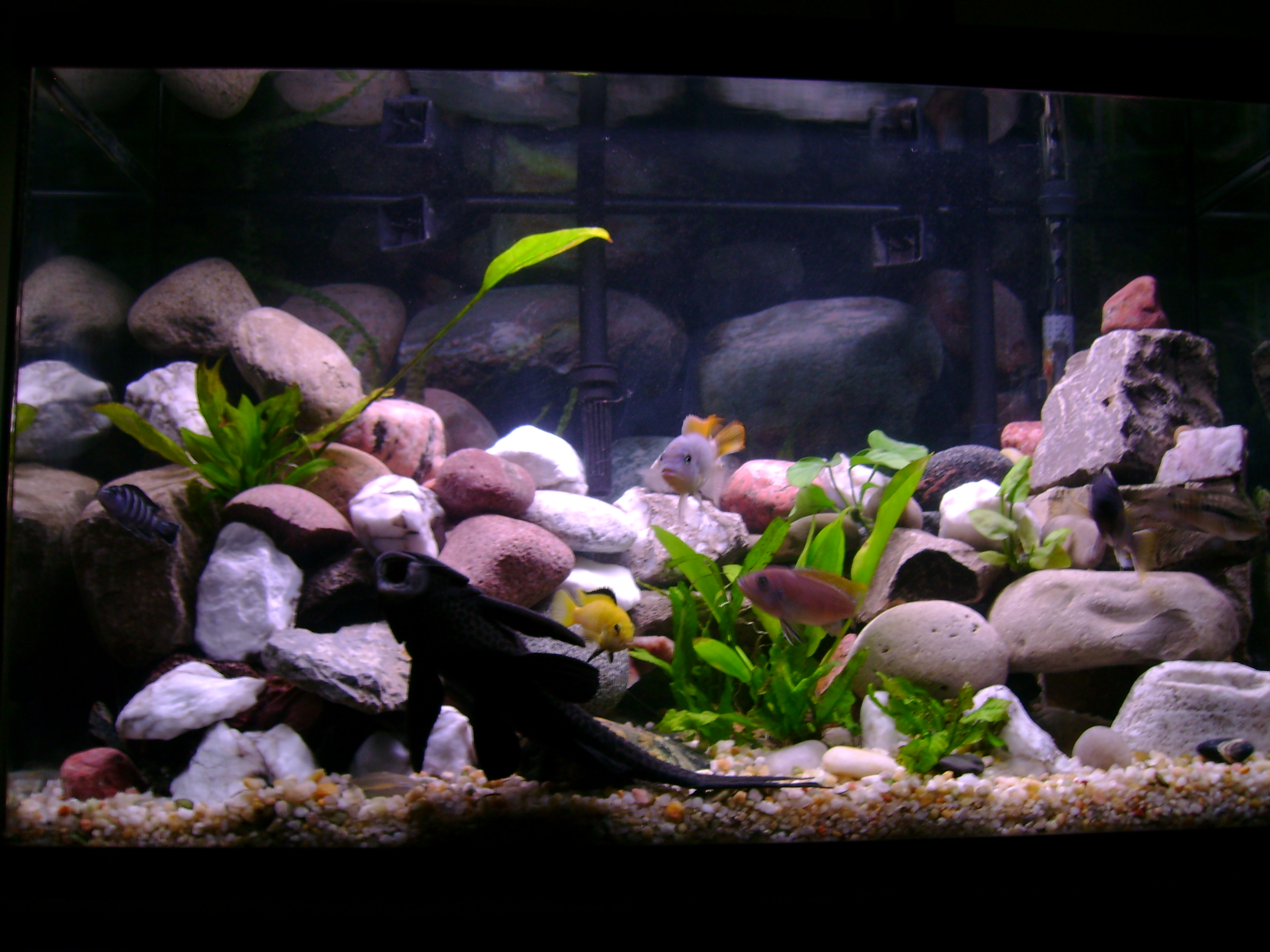 African cichlid tank for African cichlid rock decoration