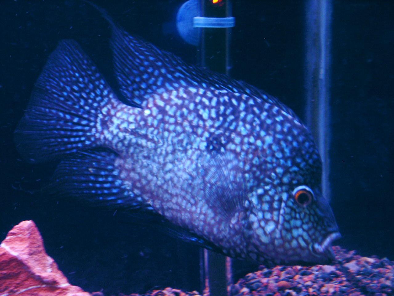 Texas Cichlid In 55 Gallon Aquarium