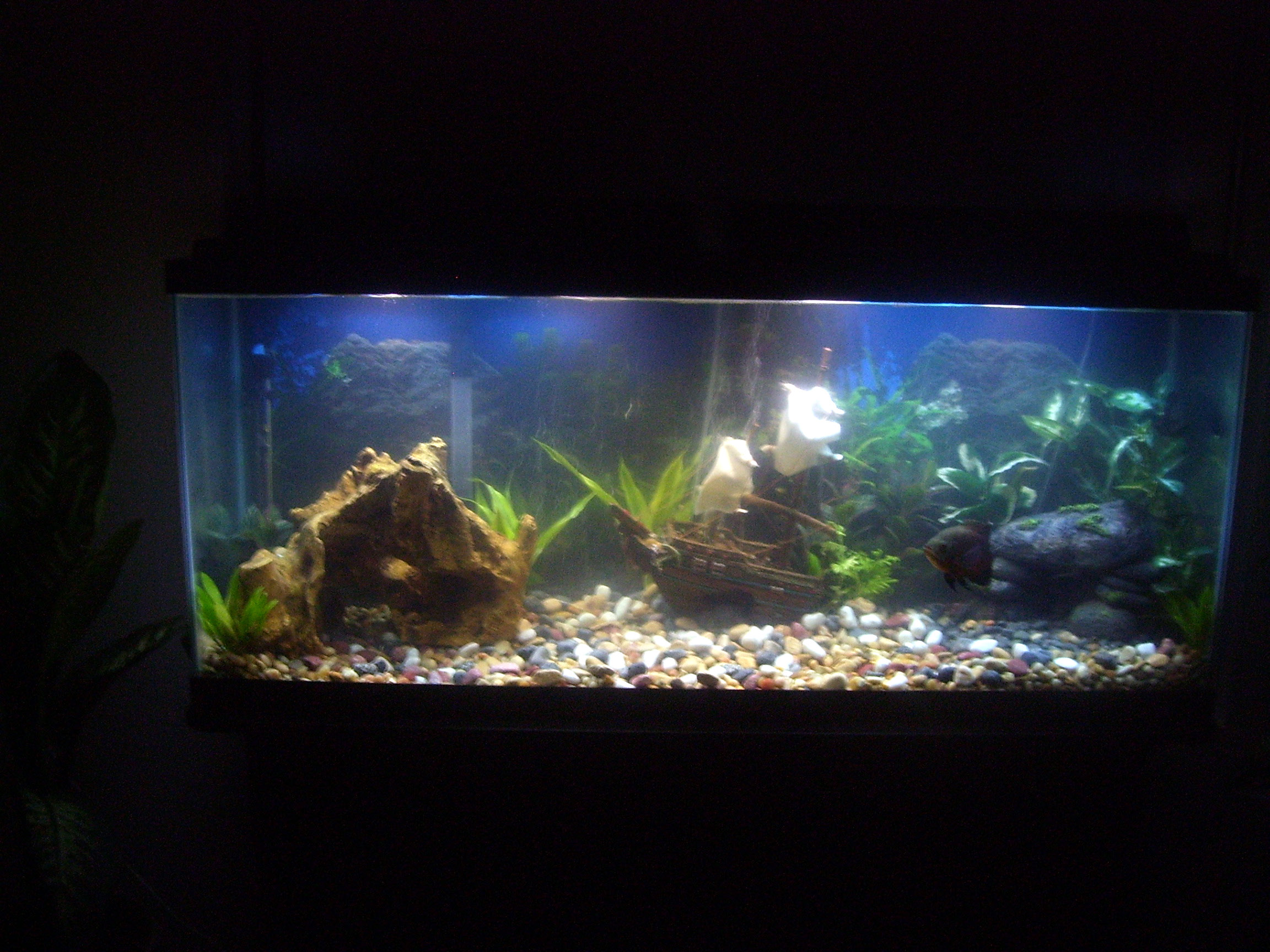Thanasis nikas New decoration in my 100l malawi tank also KI4uUlG3x3c together with Tank setups for oscars together with NEW 72GALLON BOWFRONT moreover Tank setups for oscars. on oscar cichlid in 10 gal tank