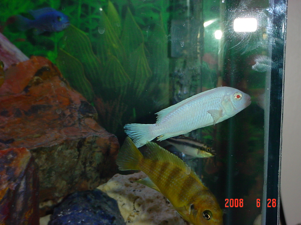 Freshwater aquarium fish with red eyes - Melanochromis Vermivorus Albino