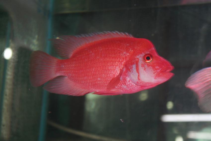 Male red devil for Red devil fish