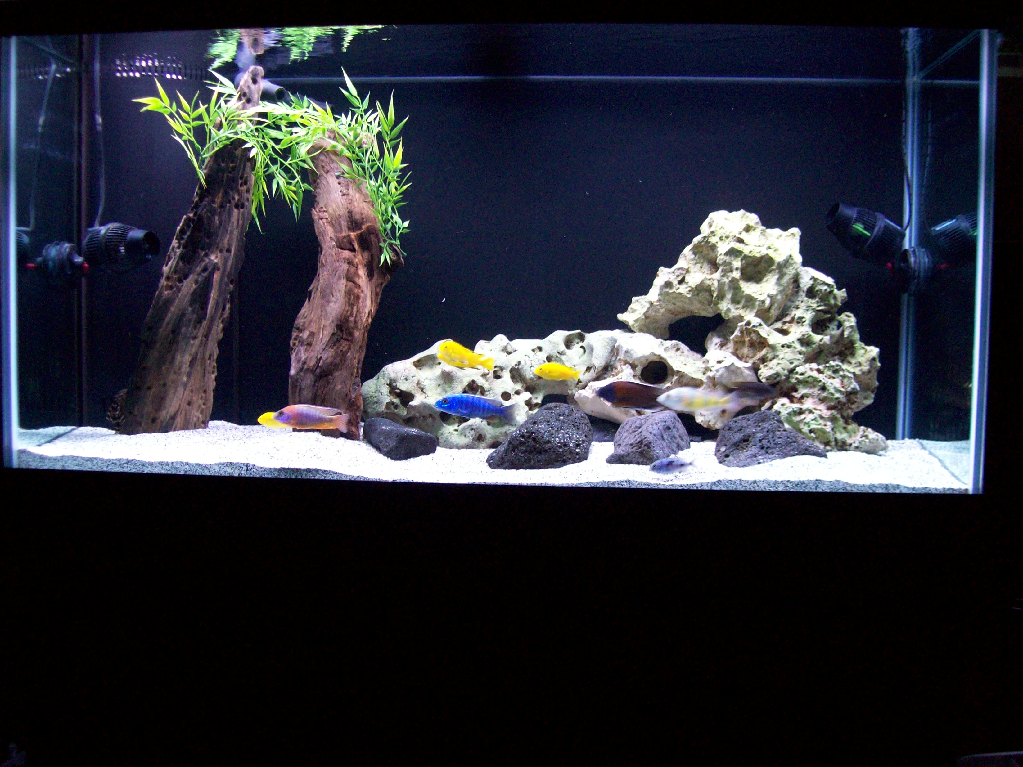 Cichlids Com Tank Examples 90 Gallon Display In Our Store