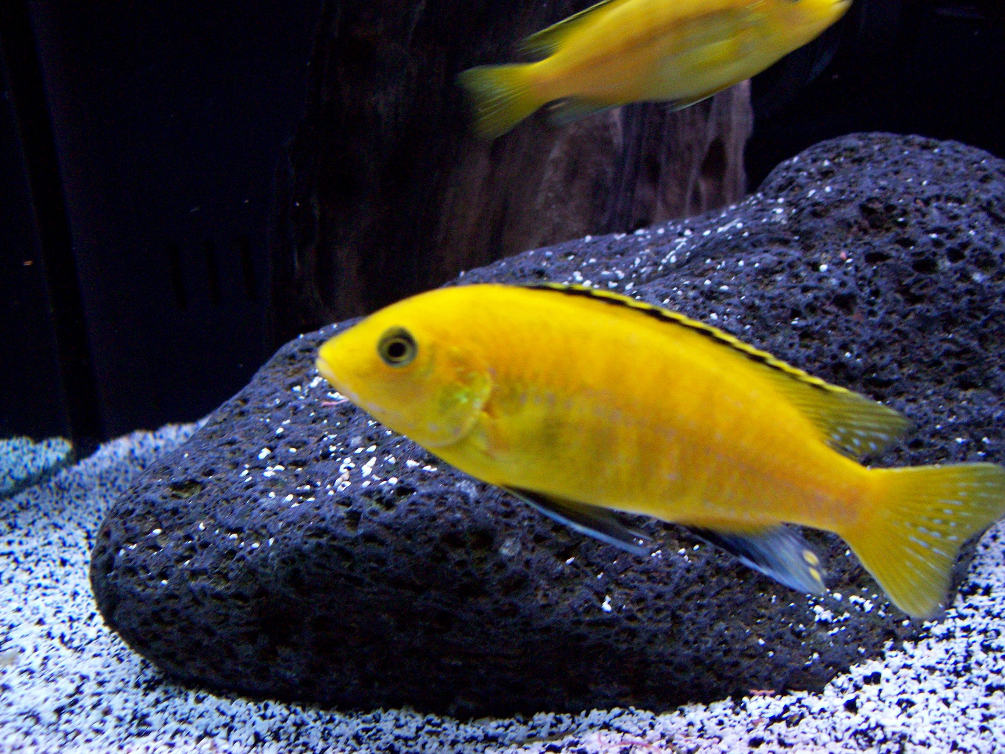 cichlids.com: Labidochromis Caeruleus  cichlids.com: L...