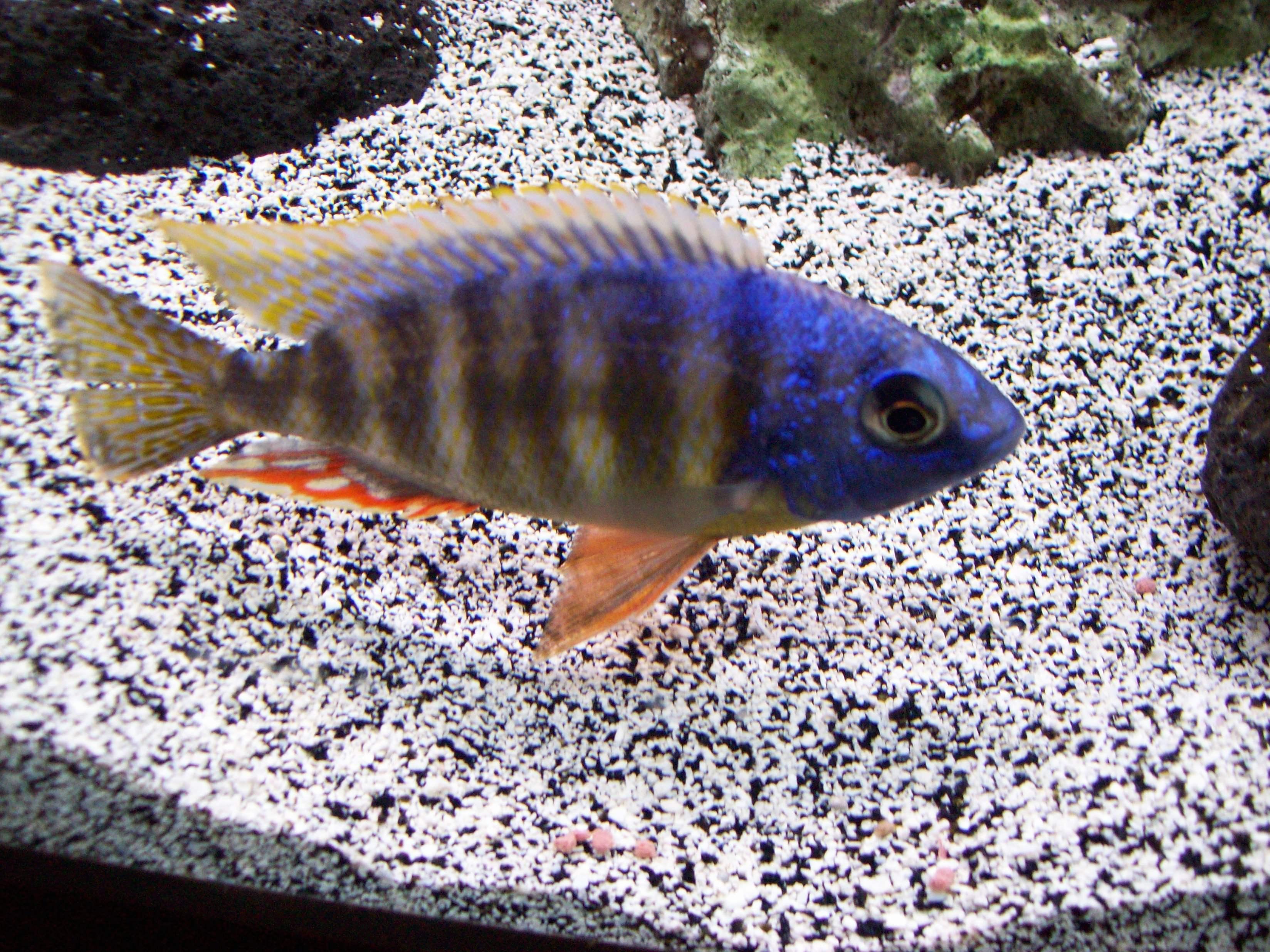 T Reef Male
