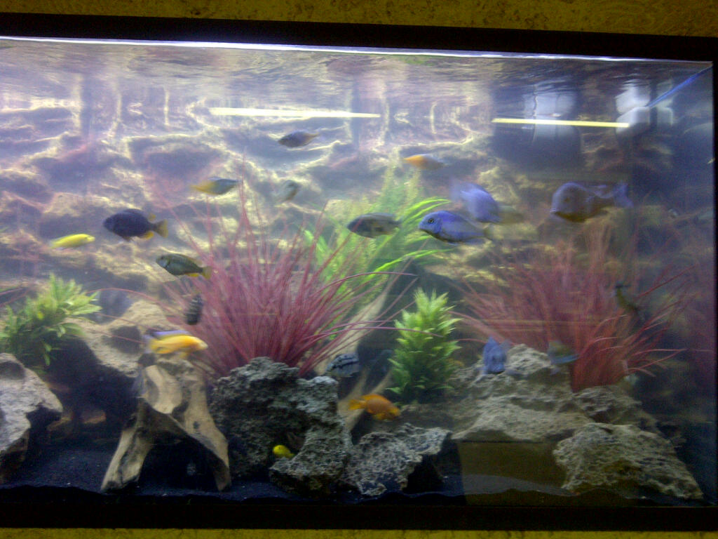 Tank examples new 110 gal cichlid tank for African cichlid tank decoration