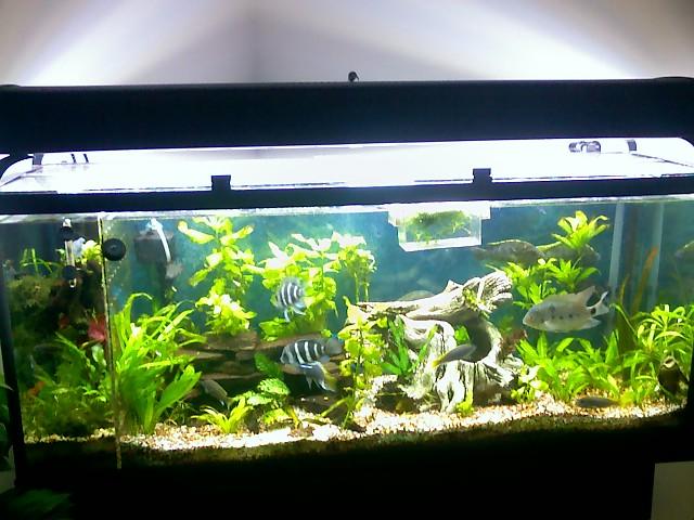 cichlids com  tank examples  planted 66 gal frontosa tank