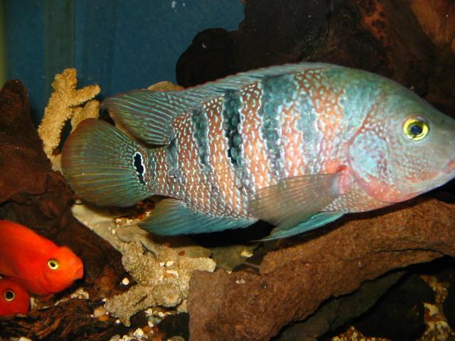 cichlids.com: Mayan and parrots