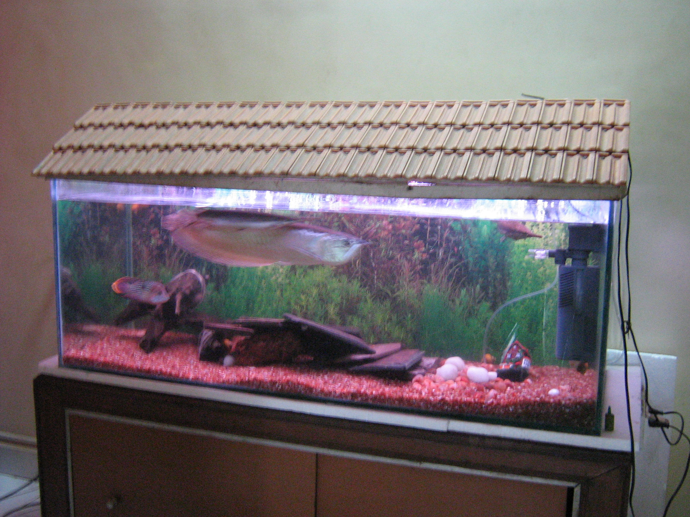 pin silver arowana tank size on pinterest
