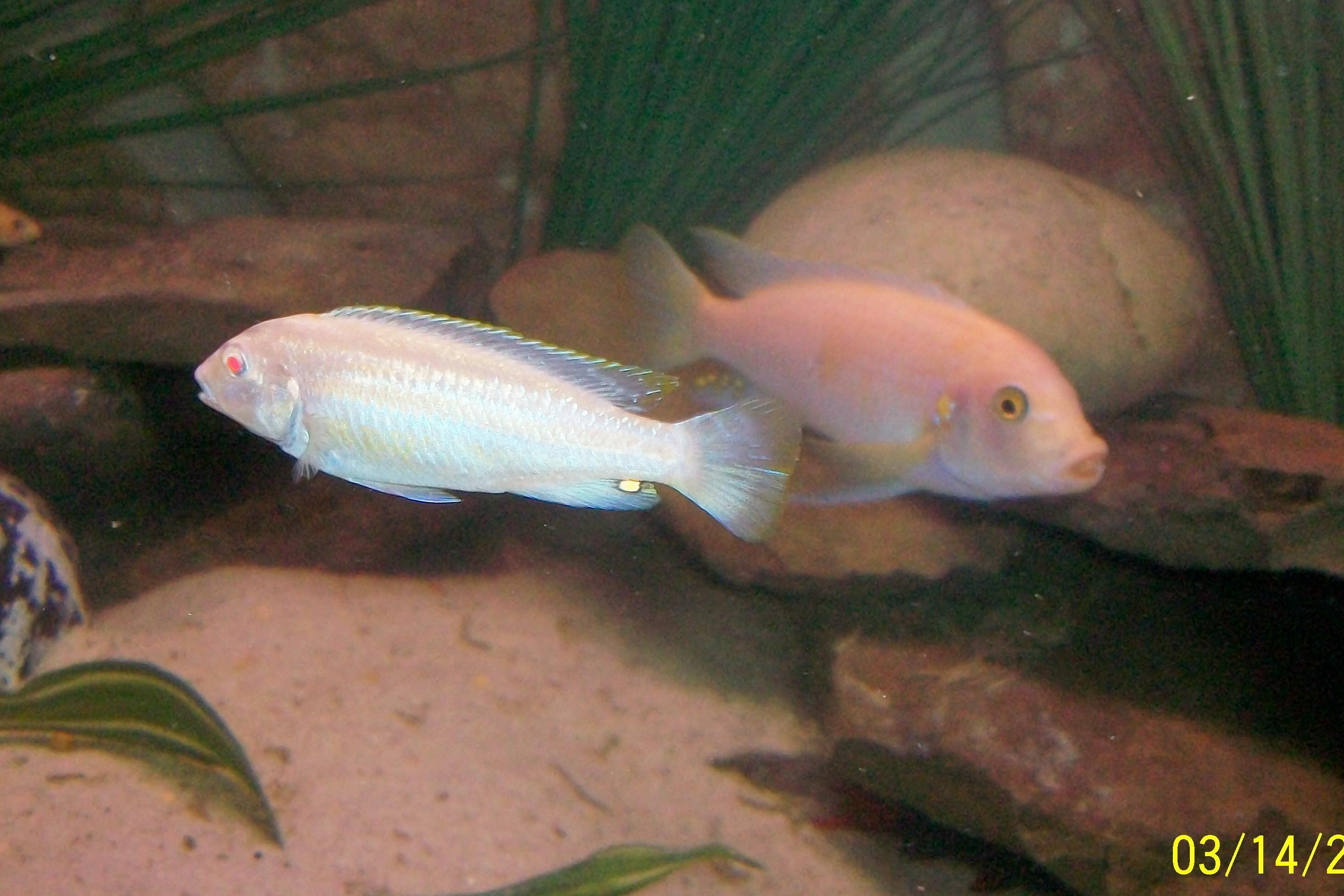 cichlids.com: Albino Auratus female and Red Zebra male