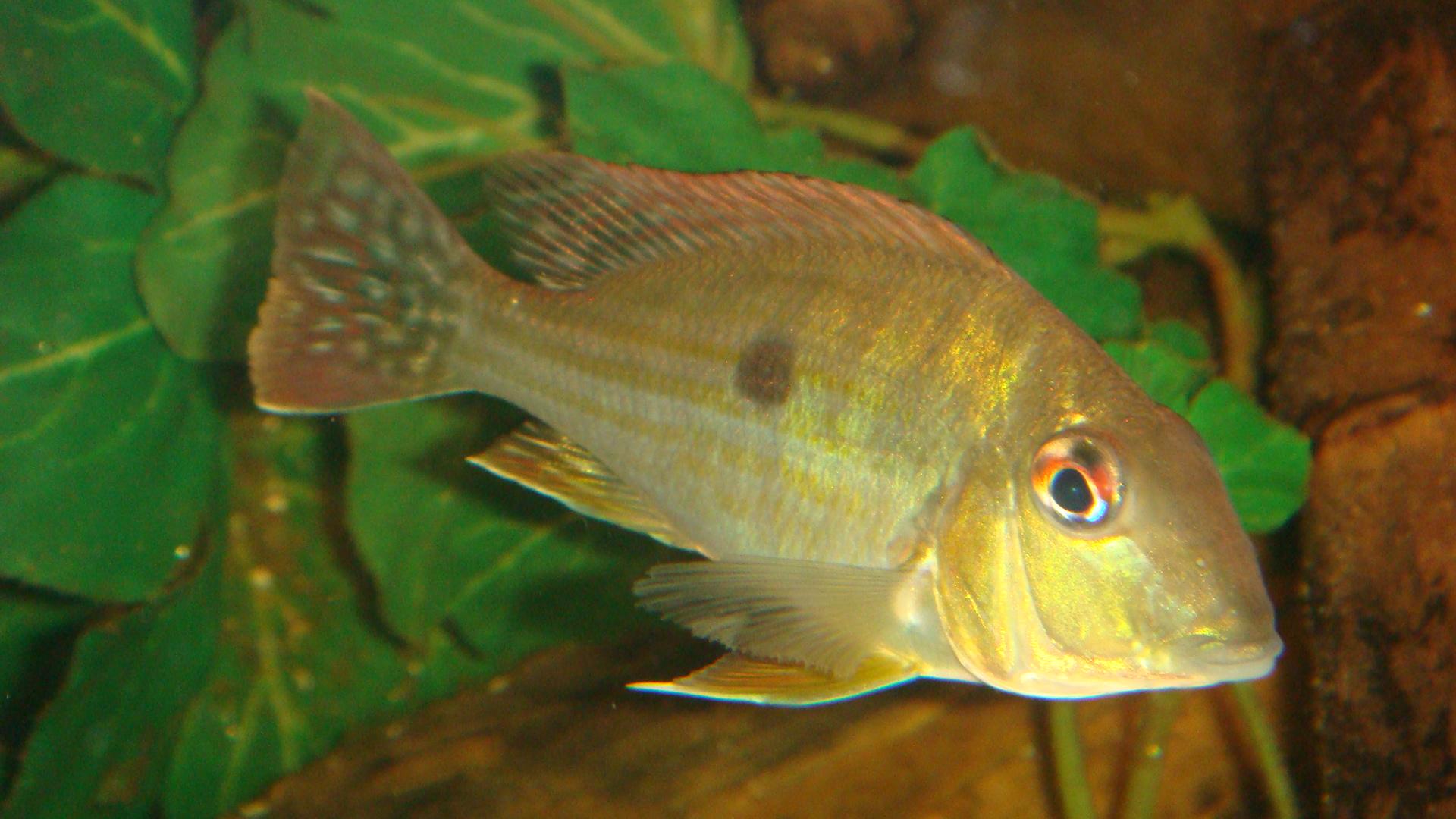 cichlids.com: Geophagus Surinamensis??keith