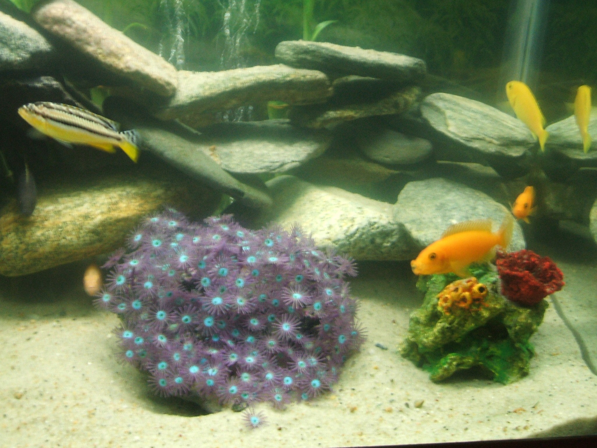 cichlids.com: auratus, albino, red zebra, yellow lab