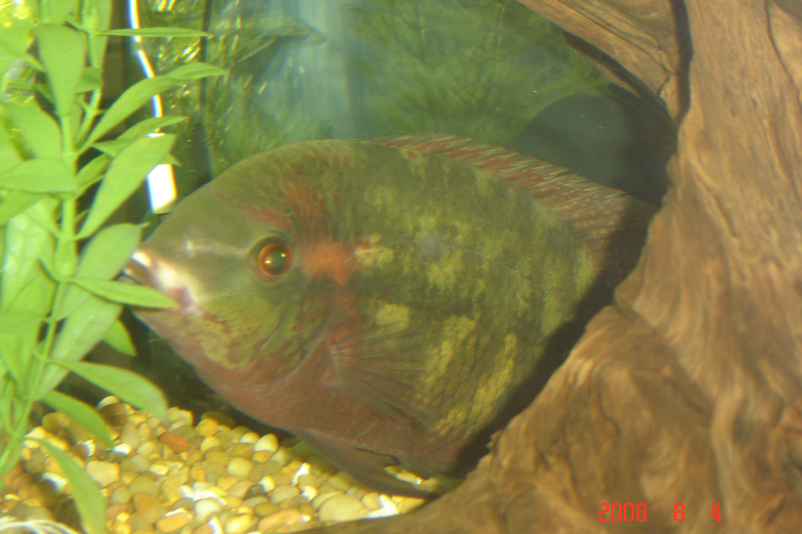 Chocolate cichlid year old with bloat and for Fungus on fish