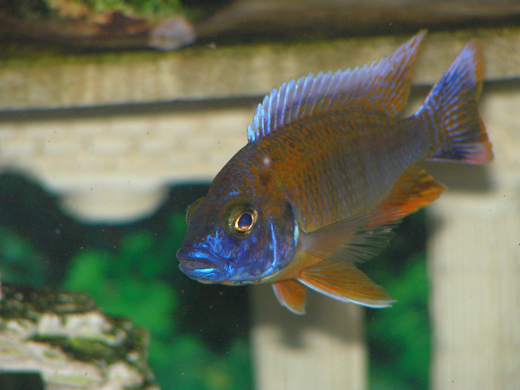 cichlids.com: Red Eureka Peacock