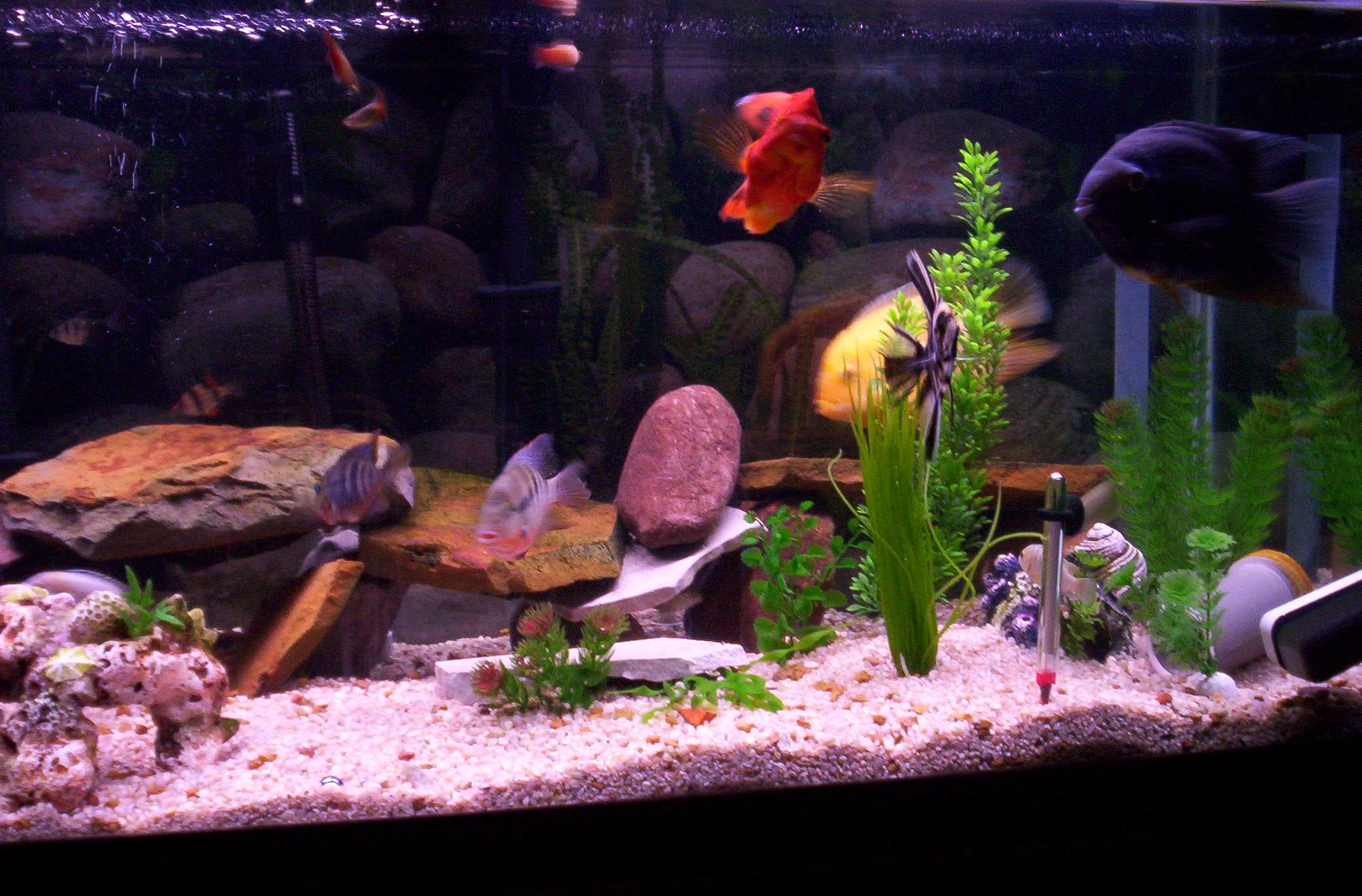 75 gallon cichlid community tank for Community fish tank