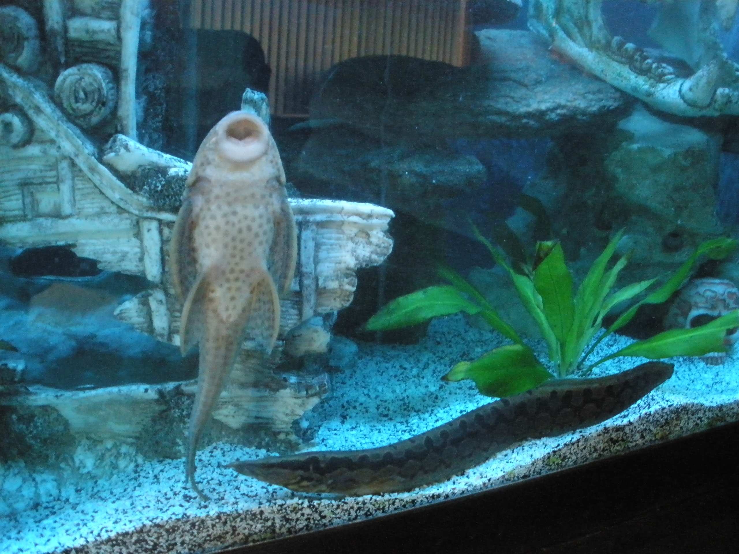 Pleco with ick for Ick in fish tank