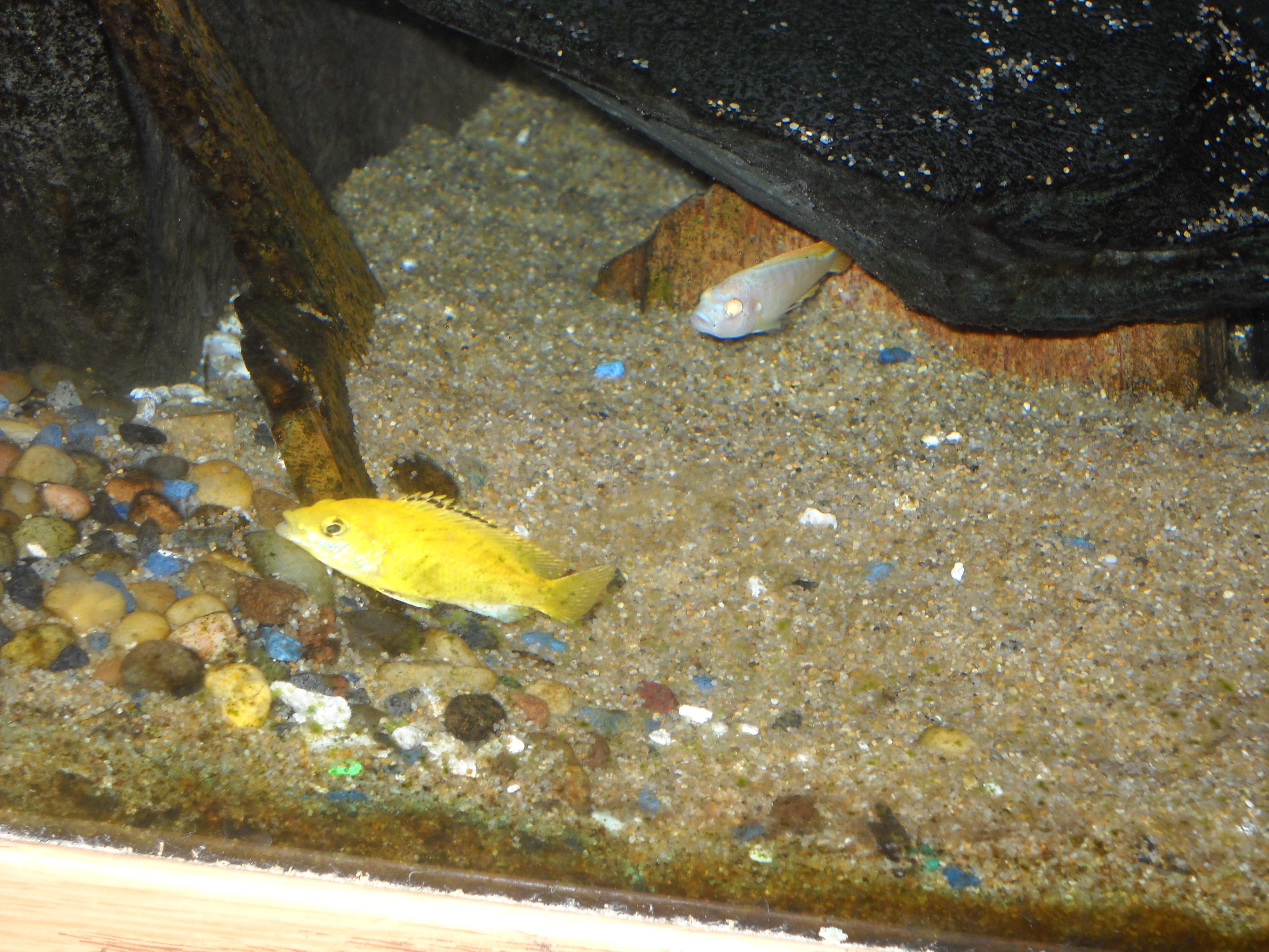 cichlidscom new very little yellow lab and albino greshaki