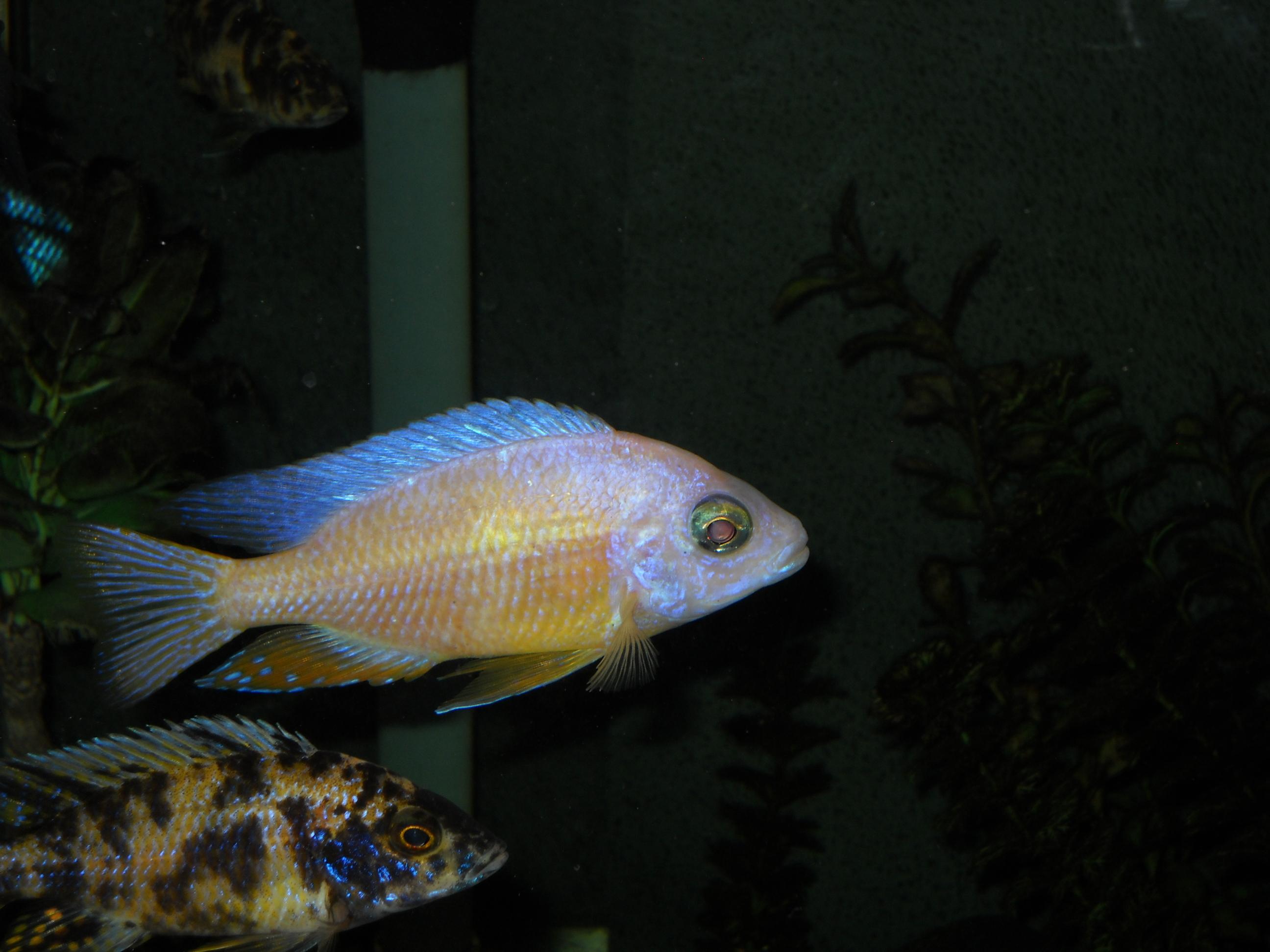 Albino T Reef And Ob