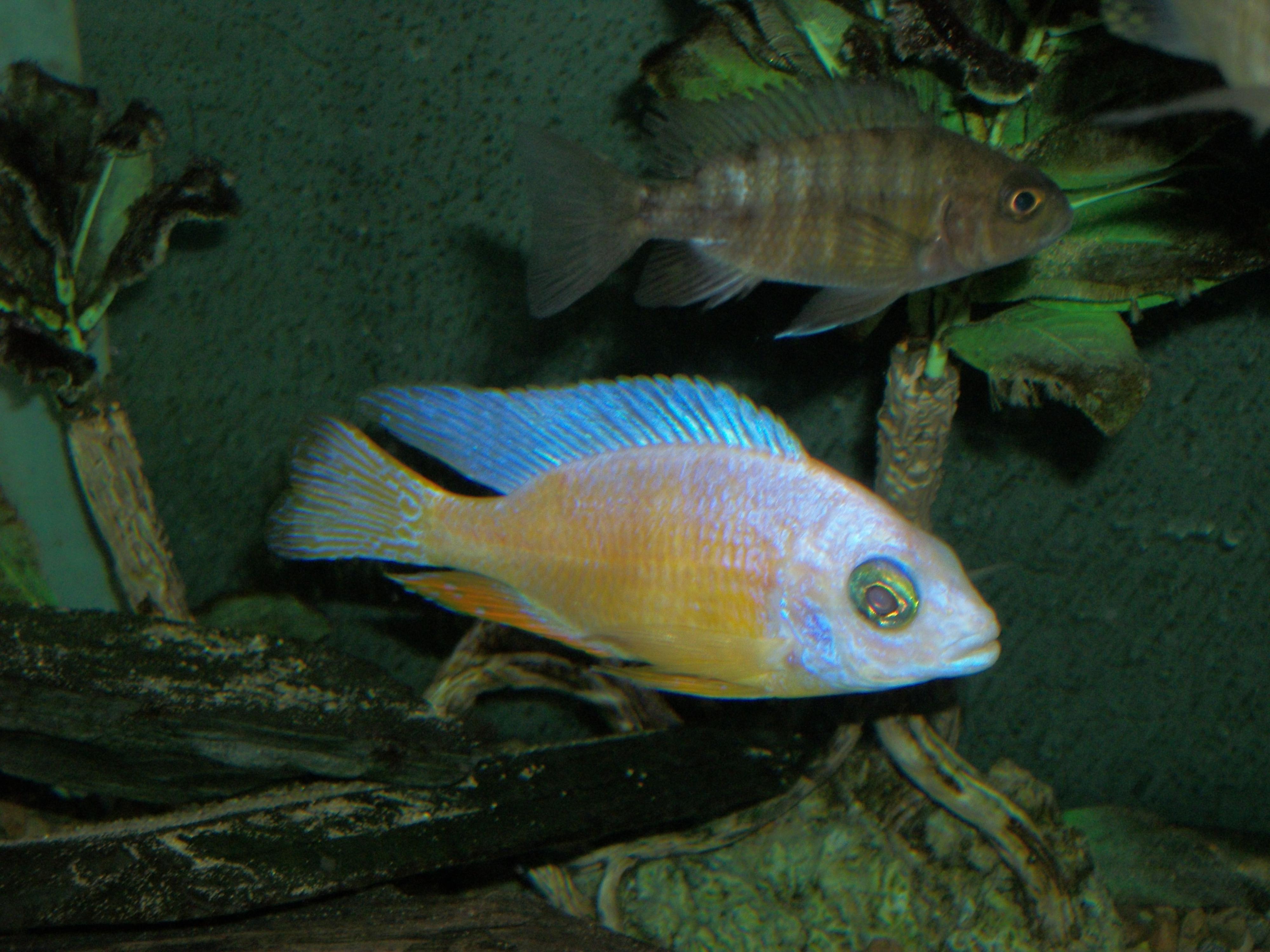 Albino T Reef