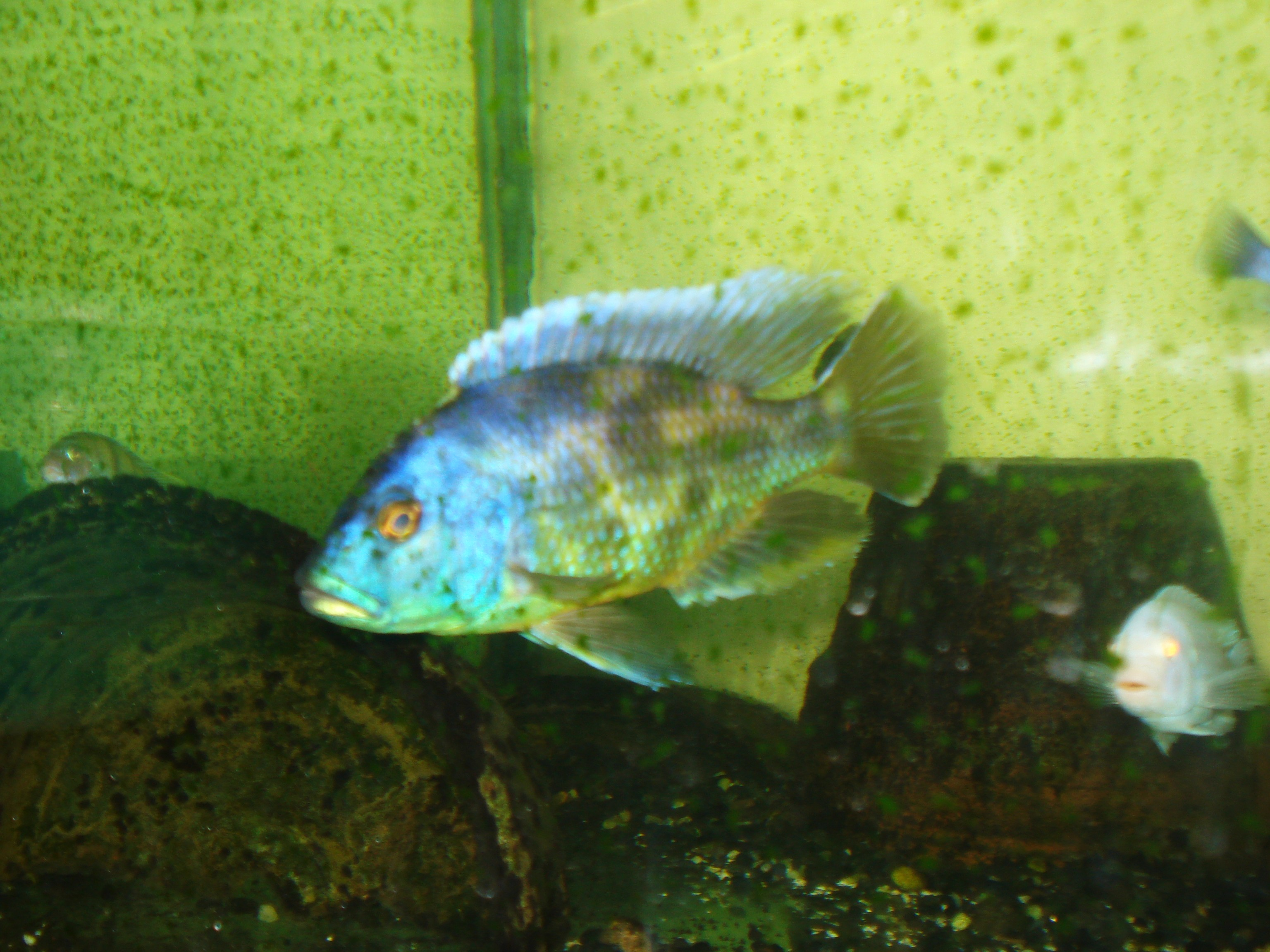 Biggest African Cichlid In My Tank