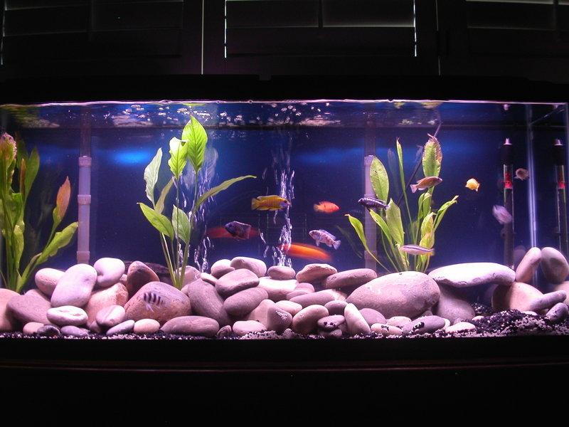 55 gallon african cichlid tank for 55 gallon fish tank setup