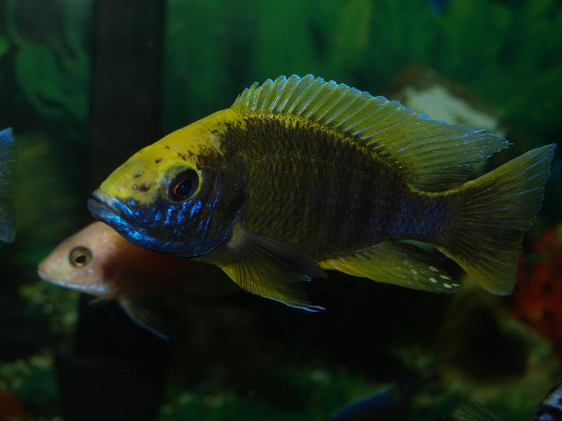 lemon jake peacock cichlid - photo #25