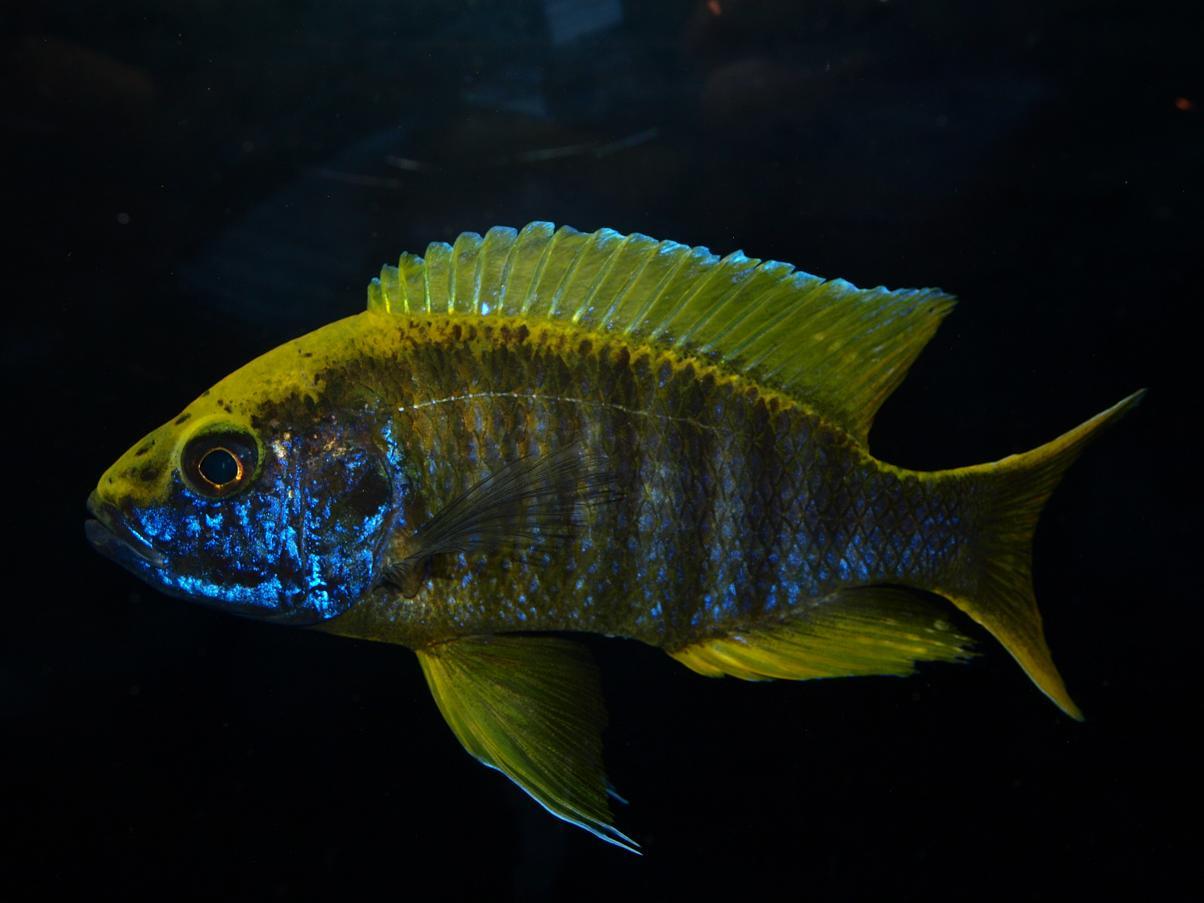 Lemon Cichlid : cichlids.com: Lemon Jake