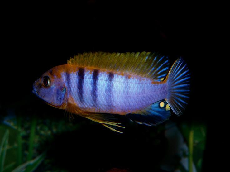cichlids.com: Red Top Hongi