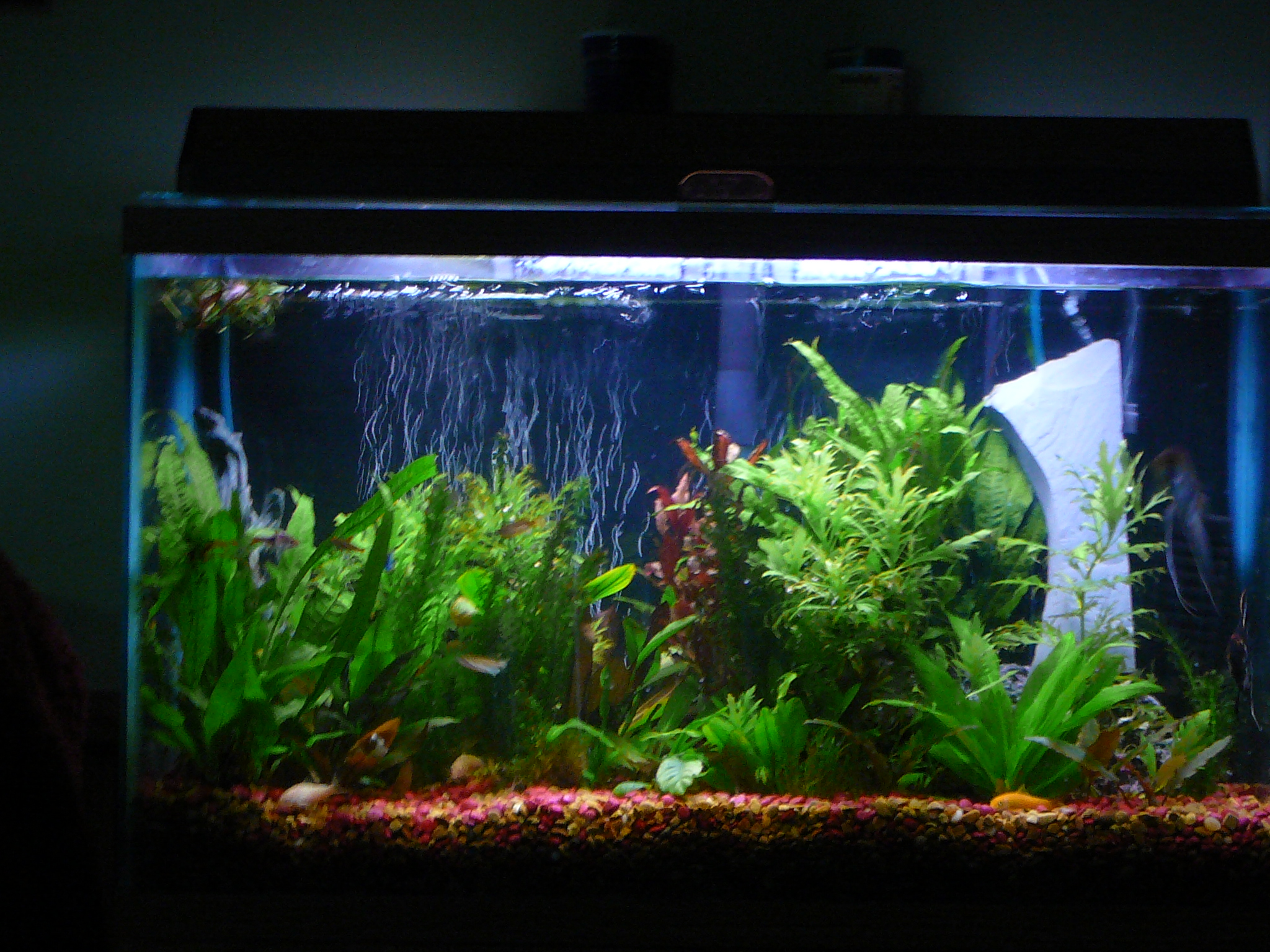 29 gallon planted angel breeding tank for 29 gallon fish tank