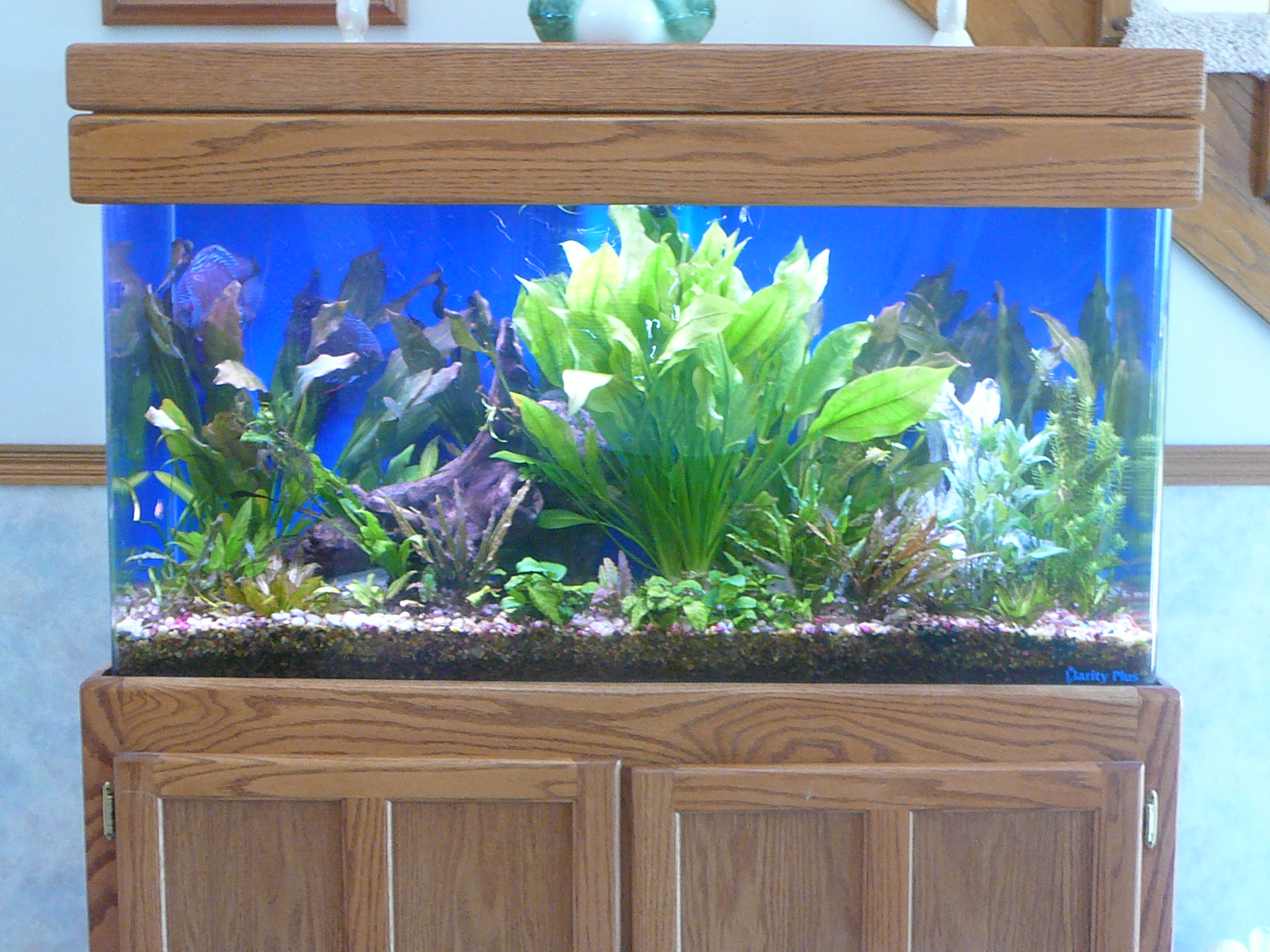 cichlids com  90 gallon planted tank