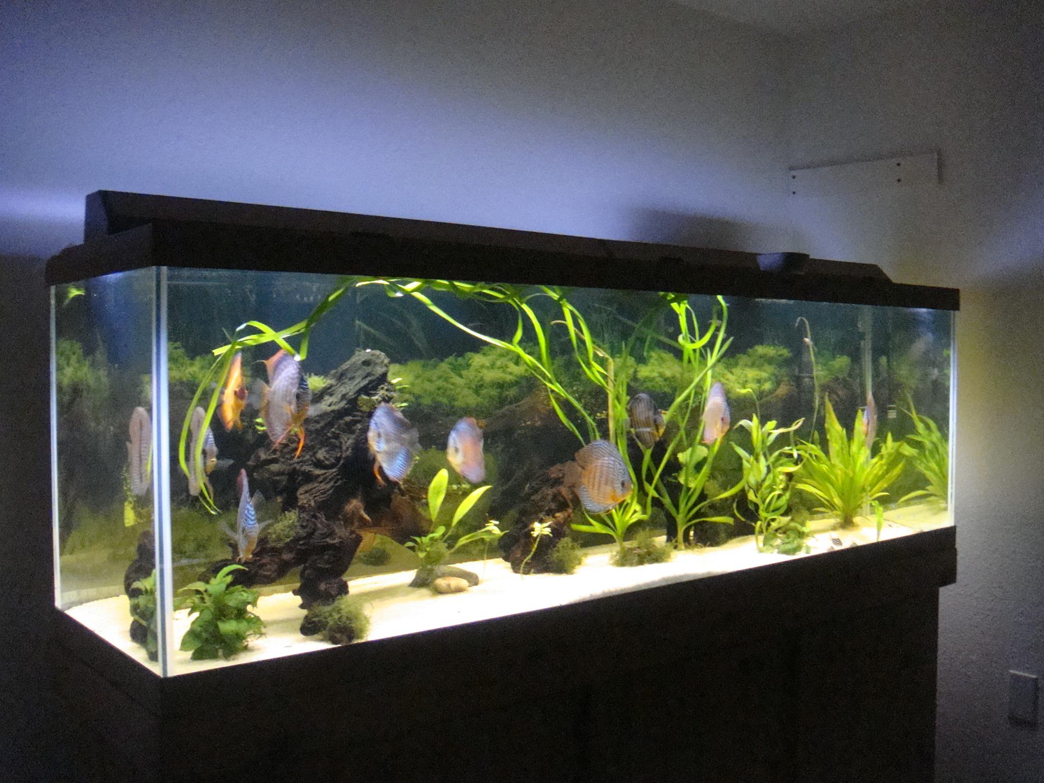 discus fish 20 gallon tank - cichlids.com: 150 gallon Discus tank at LFS 2017 - Fish Tank ...