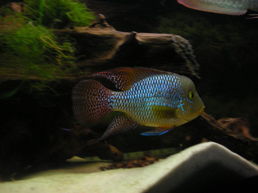 cichlids.com: Geophagus brasiliensis